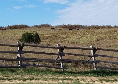 Buffalo Ridge Hole 2 Buffalo Herd